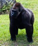 Western Lowlands Gorilla - Gorilla gorilla gorilla Stock Image