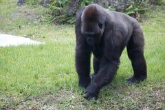 Western Lowlands Gorilla - Gorilla gorilla gorilla Royalty Free Stock Photos