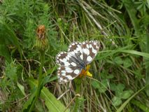 Western marbled white butterfly black white royalty free stock images