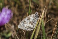 Western marbled white (Melanargia galathea) Stock Photos
