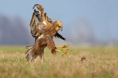 Western Marsh Harrier sit down in fast flight with claws and wings. Western Marsh Harrier attacks in fast flight with spreaded claws royalty free stock image