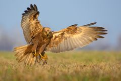 Western Marsh Harrier attack in very fast motion flight with spreaded talons, tail and wings stock photo