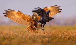 Western Marsh Harrier fights and ready to catch a Common Raven with his claws and fully wide spreaded wings royalty free stock images