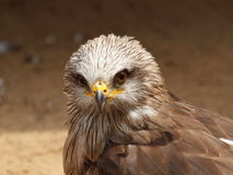 Western Marsh Harrier - Circus aeruginosus Royalty Free Stock Photo