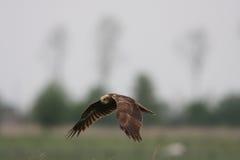 Western Marsh Harrier, Circus Aeruginosus Royalty Free Stock Images