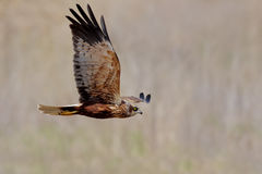 Western Marsh-harrier (Circus Aeruginosus). Stock Photography