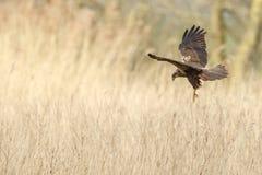The western marsh harrier (Circus aeruginosus) Royalty Free Stock Photos