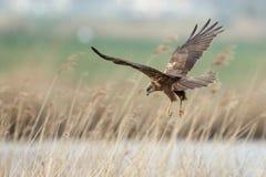 The western marsh harrier (Circus aeruginosus) Stock Photos
