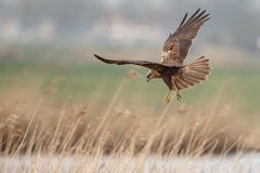 The western marsh harrier (Circus aeruginosus) Royalty Free Stock Photo