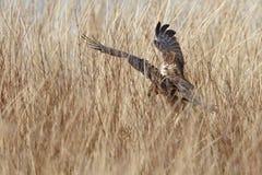 The western marsh harrier (Circus aeruginosus) Royalty Free Stock Image