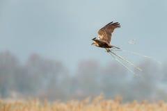 The western marsh harrier (Circus aeruginosus) Royalty Free Stock Photography