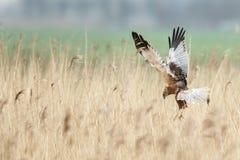 The western marsh harrier (Circus aeruginosus) Stock Images