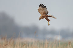 The western marsh harrier (Circus aeruginosus) Stock Photos