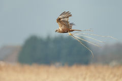 The western marsh harrier (Circus aeruginosus) Royalty Free Stock Photo