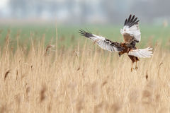 The western marsh harrier (Circus aeruginosus) Stock Photo