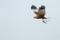 The western marsh harrier (Circus aeruginosus) Stock Photography