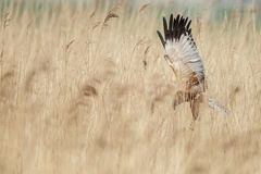 The western marsh harrier (Circus aeruginosus) Royalty Free Stock Photography