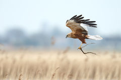 The western marsh harrier (Circus aeruginosus) Royalty Free Stock Image