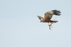 The western marsh harrier (Circus aeruginosus) Stock Images