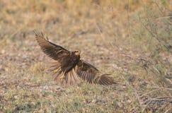 Western Marsh Harrier Stock Images