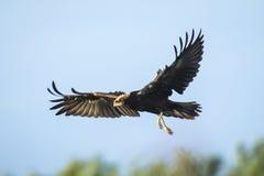Western marsh harrier, Circus aeruginosus. Royalty Free Stock Photography