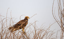 Western Marsh Harrier Royalty Free Stock Photography