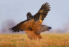 Western Marsh Harrier and Common Raven battle against each other in air over grass field stock images