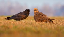 Western Marsh Harrier and Common Raven speek together on spring field royalty free stock images