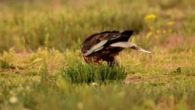 Western marsh harrier eating a prey stock video footage