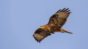 Western Marsh Harrier in Flight Royalty Free Stock Images