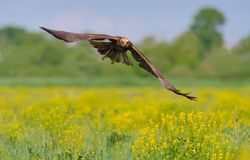 Western Marsh Harrier in flight over the flower of a field royalty free stock images