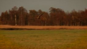 Western Marsh Harrier stock video footage