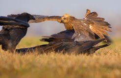 Western Marsh Harrier takes away Common Ravens from some dead meat in open field stock photos