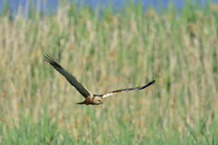 Western marsh harrier Royalty Free Stock Image