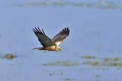 Western marsh harrier Stock Photo