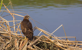 Western Marsh Harrier on Reed Royalty Free Stock Photos
