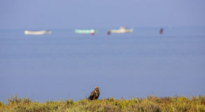 Western Marsh Harrier and Rowboats Royalty Free Stock Photo