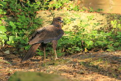 Western marsh harrier Royalty Free Stock Photos