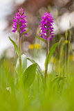 Western marsh orchid Royalty Free Stock Photography