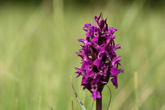 Western marsh orchid Stock Photography