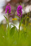 Western marsh orchid Royalty Free Stock Images