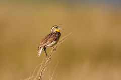 Western Meadowlark Stock Photo