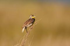 Western Meadowlark. (Sturnella neglecta) singing while perched on sagebrush Stock Photo