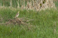 Western Meadowlark. Sitting on a brush pile in field Royalty Free Stock Photos