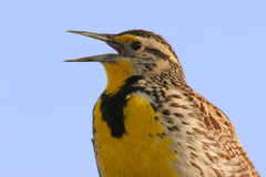 Western Meadowlark Royalty Free Stock Image