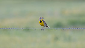 Western Meadowlark on barbed wire. A male Western Meadowlark perched on barbed wire with head turned Royalty Free Stock Photos