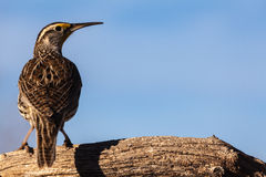 Western Meadowlark Stock Photos