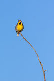 Western Meadowlark on branch Stock Photos