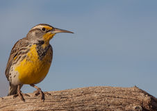 Western Meadowlark on Branch Stock Image