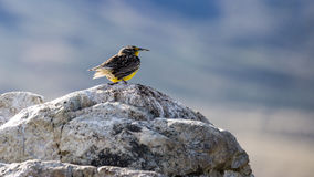 Western Meadowlark. A western meadowlark is perched on a rock Royalty Free Stock Photography